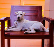 White dog lying on a wooden chair. On the terrace houses, Dog lying on a chair, looking be conceited Stock Images