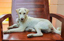 White dog lying on a wooden chair. On the terrace houses, Dog lying on a chair, looking be conceited Stock Image