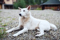 White dog lying in the yard. Royalty Free Stock Photography