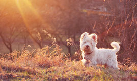 White dog on meadow Royalty Free Stock Photography