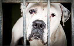 White  dog in a metal grid frame. I am unhappy for now, help me, please Royalty Free Stock Photography