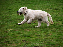 White dog in motion. On green meadow Stock Photo