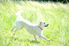 The white dog in the nature Stock Photo
