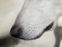 White dog nose long black lips Stock Photos