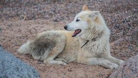 White dog. Old Eskimo dog Stock Photos