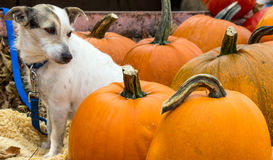 White dog and orange pumpkins Stock Photography