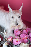 White dog with orchid flowers Stock Photography