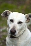 White dog outdoor Royalty Free Stock Photography