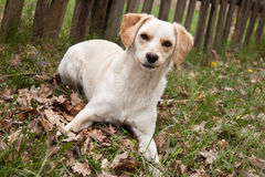 White dog at outdoor Stock Photography