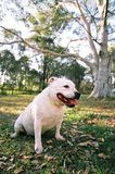 White dog in a park Royalty Free Stock Photo