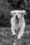 White Dog in the park Royalty Free Stock Photo