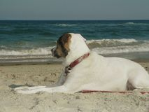 White dog pensive at the beach. White dog gazing across the water on the beach Stock Photography