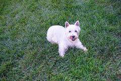 White dog playing on green lawn Stock Photography