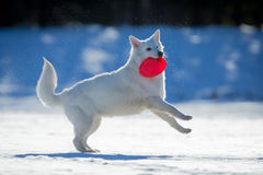 White dog playing on snow. Royalty Free Stock Photo