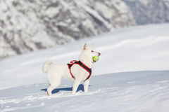 White dog playing tenis ball in snow Royalty Free Stock Photos