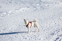 White dog playing tenis ball in snow. Cute white dog with tenis ball in mouuth standing in snow Royalty Free Stock Photography