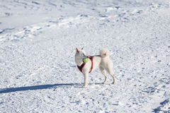 White dog playing tenis ball in snow. Cute white dog with tenis ball in mouuth standing in snow Royalty Free Stock Photo