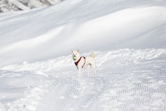 White dog playing tenis ball in snow Stock Image