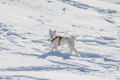 White dog playing tenis ball in snow. Cute white dog with tenis ball in mouuth standing in snow Stock Images