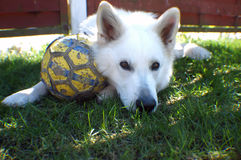 White dog plays with a ball. A white German shepherd is tired after a ball play Royalty Free Stock Images