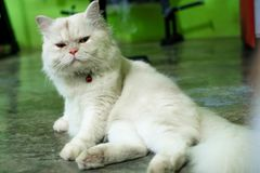 White a dog pomeranian close up portrait royalty free stock image
