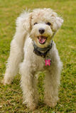 White Dog. White Poodle dog starring at the front Royalty Free Stock Photos