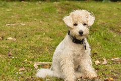 White Dog. White Poodle dog starring at the front Stock Photo