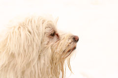 White dog profile. Portrait of a long haired white dog head profile with sad expression watching. Image isolated on white background Royalty Free Stock Image