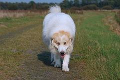 White dog Stock Images