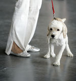 White dog with red leash. Small white dog on red leash. Legs of woman with white pants and silver shoes nearby Royalty Free Stock Photos