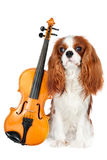 Cavalier king charles spaniel dog with violin Royalty Free Stock Photos