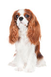Cavalier king charles spaniel dog Stock Images