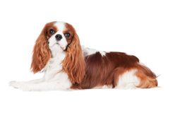 Cavalier king charles spaniel dog Royalty Free Stock Photo