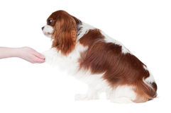 Cavalier king charles spaniel dog Royalty Free Stock Image