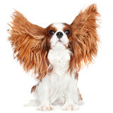 Cavalier king charles spaniel dog Royalty Free Stock Photography