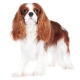 Cavalier king charles spaniel dog Stock Image
