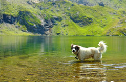 White dog refreshing in very clean water Stock Photography