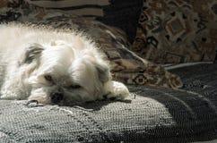 White dog resting on sofa Royalty Free Stock Photos