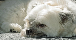 White dog resting on sofa Stock Photos