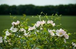 White dog rose Stock Image