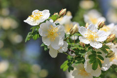 White flowers of dog-rose Stock Images