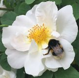 White Dog Rose with Bumblebee Royalty Free Stock Photography