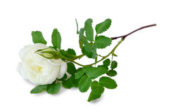 White dog-rose Royalty Free Stock Photo