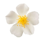 White Dog rose Royalty Free Stock Images