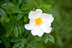 White Dog rose Rosa canina flower Royalty Free Stock Photography