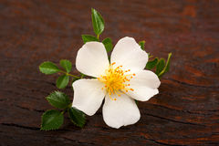 White Dog rose Royalty Free Stock Photography