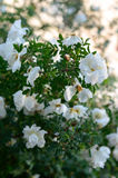 White dog roses bush with puffy flowers Royalty Free Stock Photos