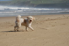 White Dog running at the beach Royalty Free Stock Photography