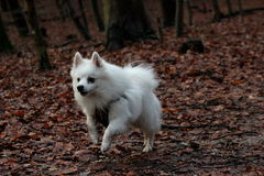 White dog running in the forest Stock Photography