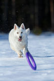 White dog running after a frisbee in wintertime Stock Photo
